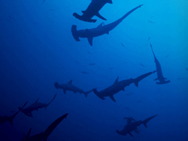 Group of Hammerhead Sharks