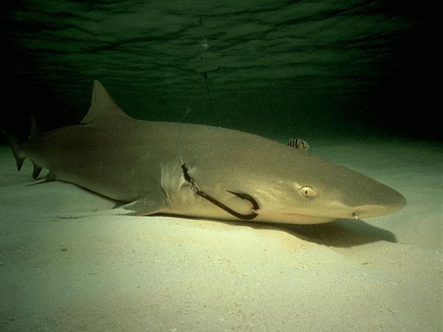 Lemon Shark With Lodged Fish Hook