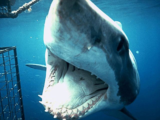 Great White Sharks Attacks